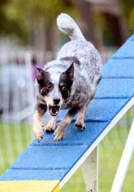 Kylie on the dogwalk