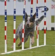 Maizey Purina Incredible Dog Challenge
