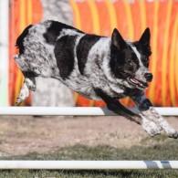 Kiwi over a jump, photo by Dynamic Dog Photos