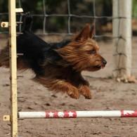 Winston AKC Jump