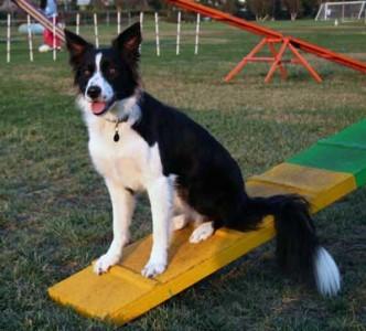 Wiki sitting on the dogwalk
