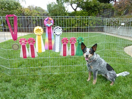 Maizey with her Invitational ribbons