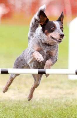 Maizey, 2013 #1 AKC Agility Australian Cattle Dog